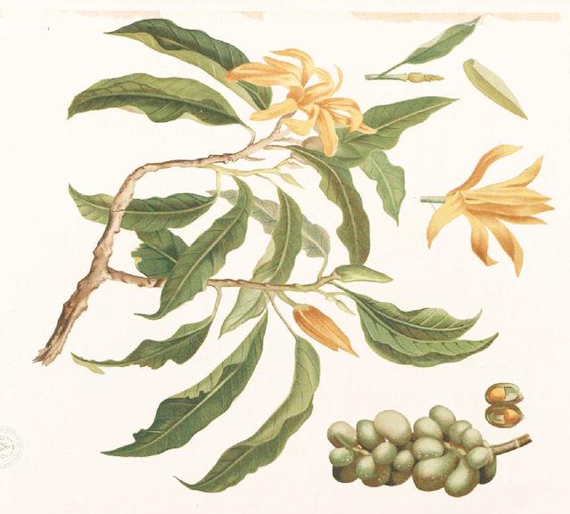 Amarakoa vanauadhivarga ii vers 44 62 abb michelia champaca l 1753 bildquelle flora de filipinas 1880 wikipedia public domain mightylinksfo