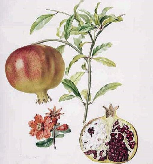 Amarakoa vanauadhivarga ii vers 44 62 abb punica granatum l 1753 granatapfel pomeganate bildquelle turpin 1835 wikipedia public domain mightylinksfo