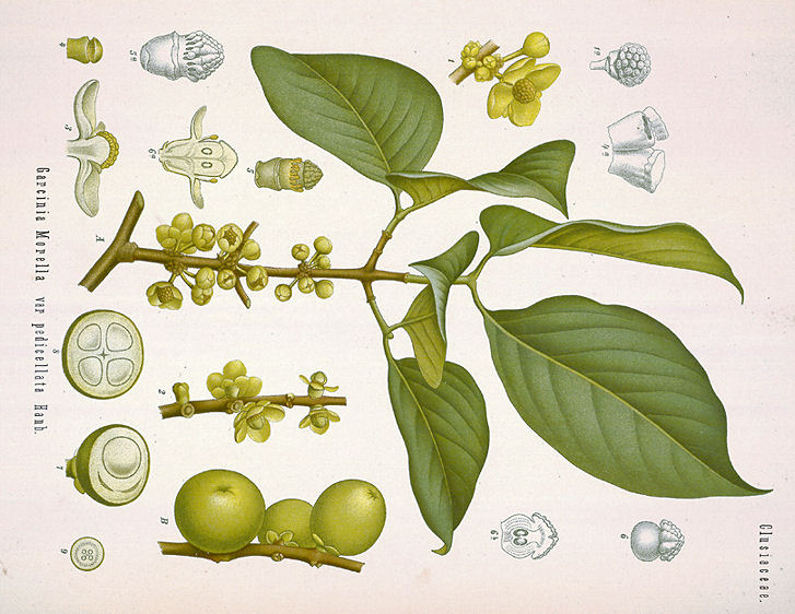 garcinia meaning in tamil