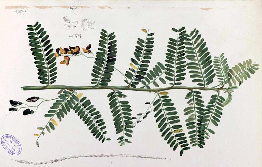 Amarakoa vanauadhivarga ii vers 44 62 abb sesbania sesban l merr 1912 gyptische sesbanie egyptian sesban bildquelle flora de filipinas 1880 wikipedia public domain mightylinksfo