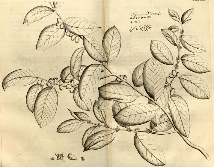 Jasminum Sambac Drawing Amarakośa Vanauṣadhivargaḥ