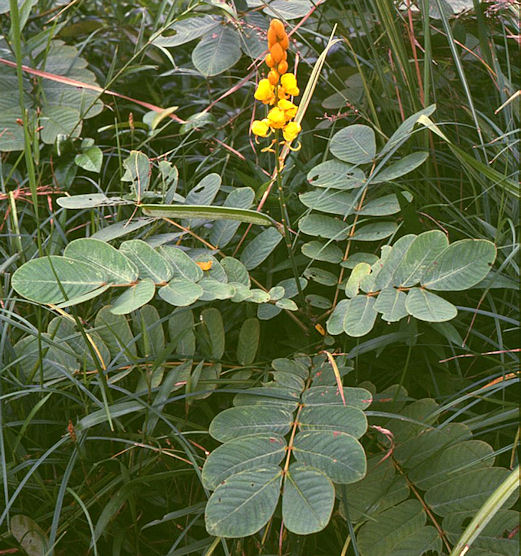 luteolin and kaempferol from cassia alata Phytochemical constituents from cassia alata with with inhibition against methicillin-resistant staphylococcus kaempferol glycosides 2 and.