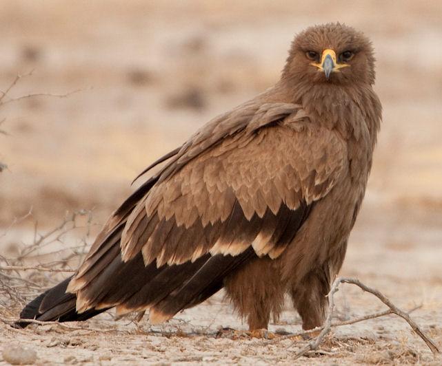 Wikipedia Steppe Eagle Steppe Eagle Raubadler