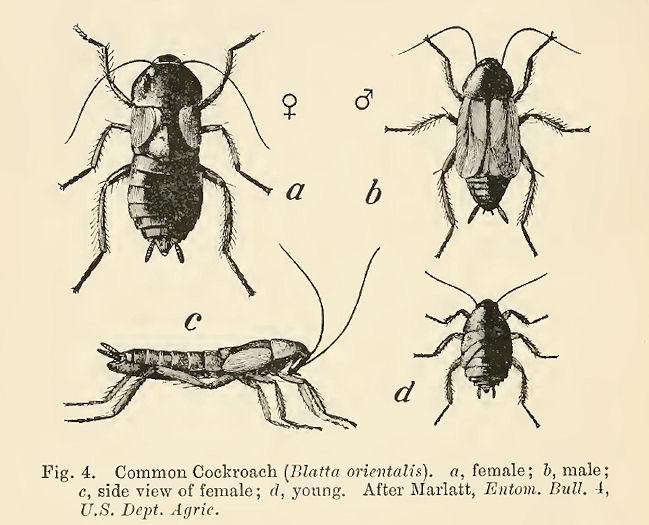 Amarakosa Siṃhadivargaḥ Vers 26b 29 Insekten
