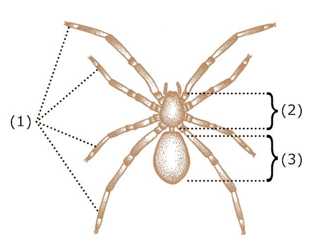 größte spinne der welt gefunden