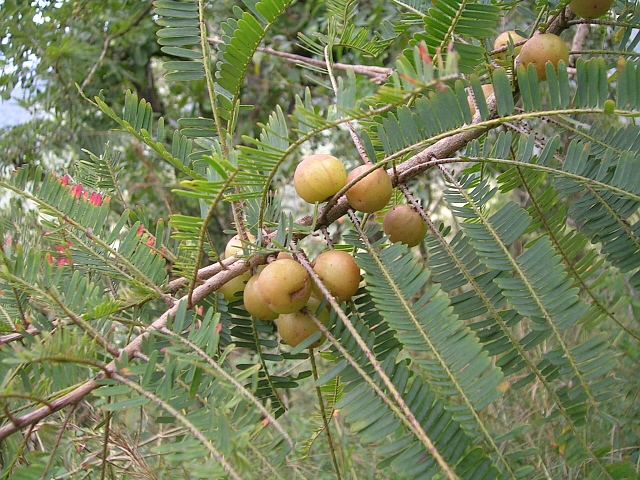 amla fruit fruit in vagina