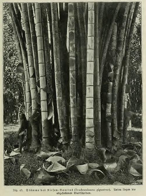 Bambus Als Material Botanisches Architektur Für Die Tropen