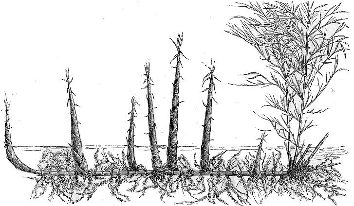Bambus Rhizom und Wuchsform, Bambus Botanisches,Bambus Architektur, Bambus Haus bauen in den ...