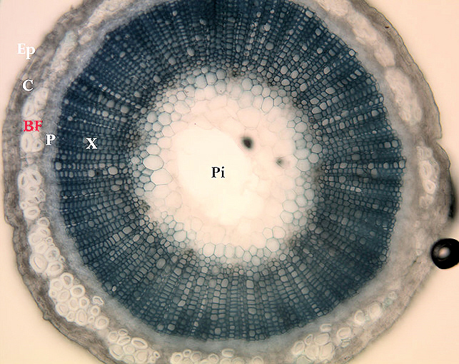 Microscopic cross section of a flat Stem
